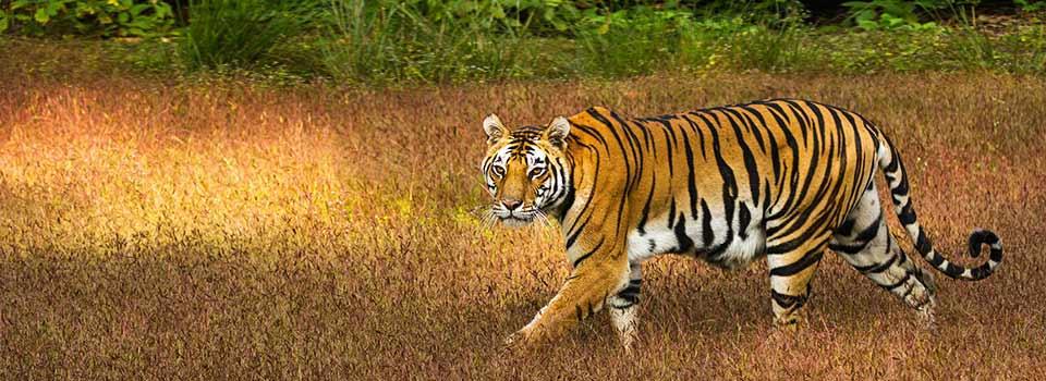 Tiger Kanha Tiger DavidRaju.jpg By Davidvraju