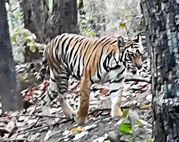 Opinión de Safari de tigres en India de Maite y Jose: Tigre de Bengala, avistado.