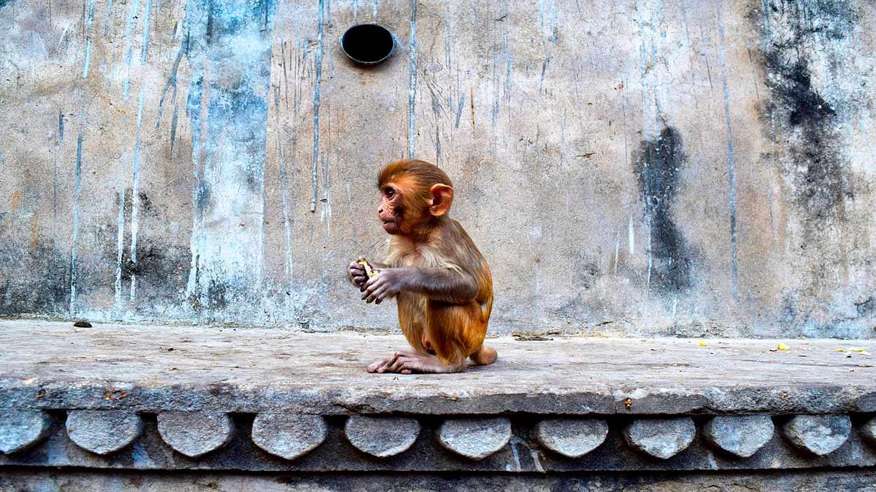 Un macaco Rhesus del Galtaji - Qué ver en Jaipur - doce visitas imprescindibles