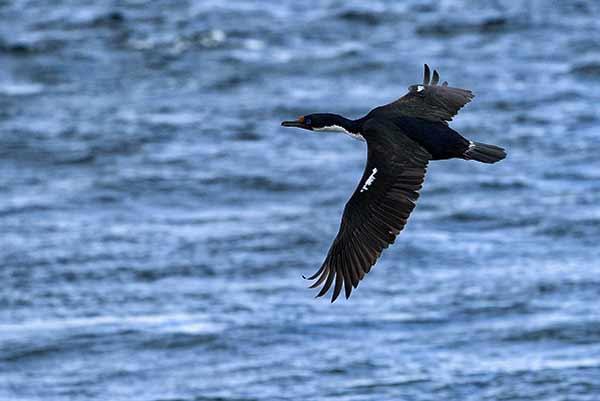 Testimonio de Viaje a Argentina y Chile de Javier y Elena: un cormorán imperial, en la Isla de los pájaros, Ushuaia (foto hecha por Javier)