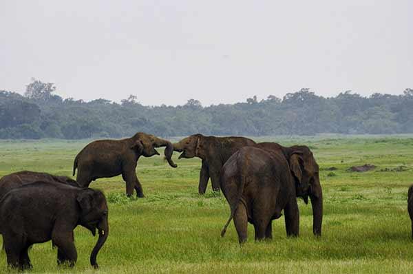 Valoración de viaje a Sri Lanka y Maldivas de Mari, Elena, Diego y José Carlos - elefantes en Parque Nacional de Minneriya