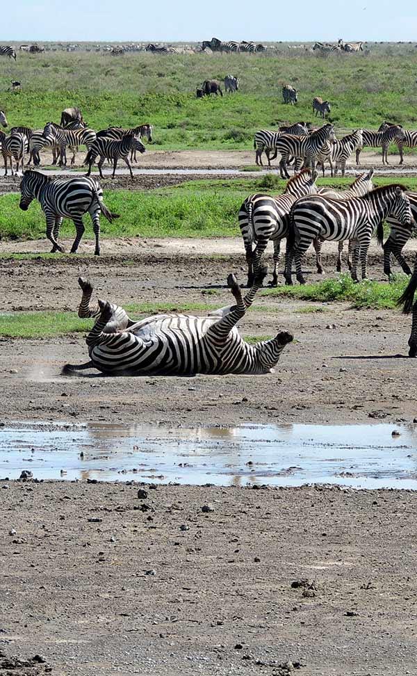 Valoración de safari en privado de Tanzania de Yajaira y Pino: en Serengeti