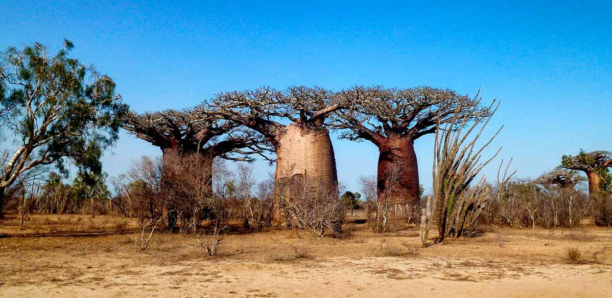 Guía de turismo de Madagascar - baoabs