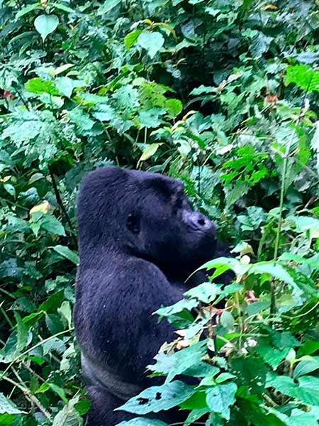 Valoración del viaje a Uganda de Ana y familia: un gorila de montaña en Bwindi