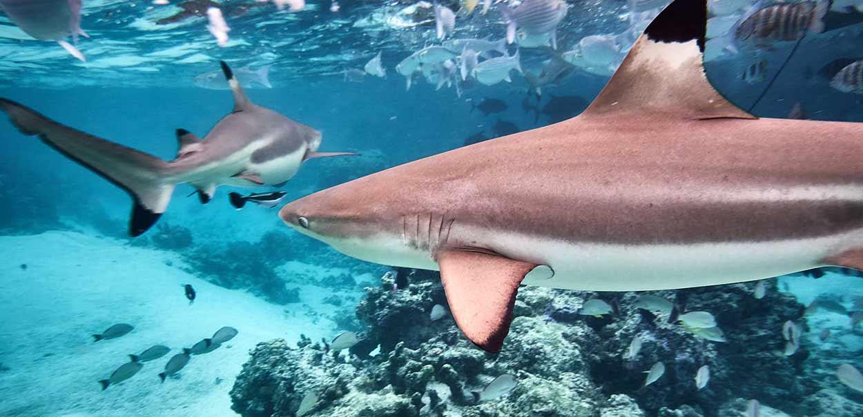 Valoración de viaje a Polinesia de Gema y David - Tiburones punta negra (foto hecha por Gema y David, en una de sus sesiones de buceo))