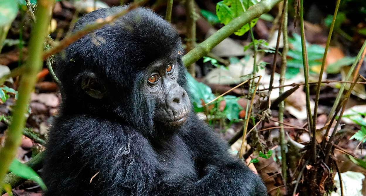 Safari Uganda con observación de gorilas y campamentos