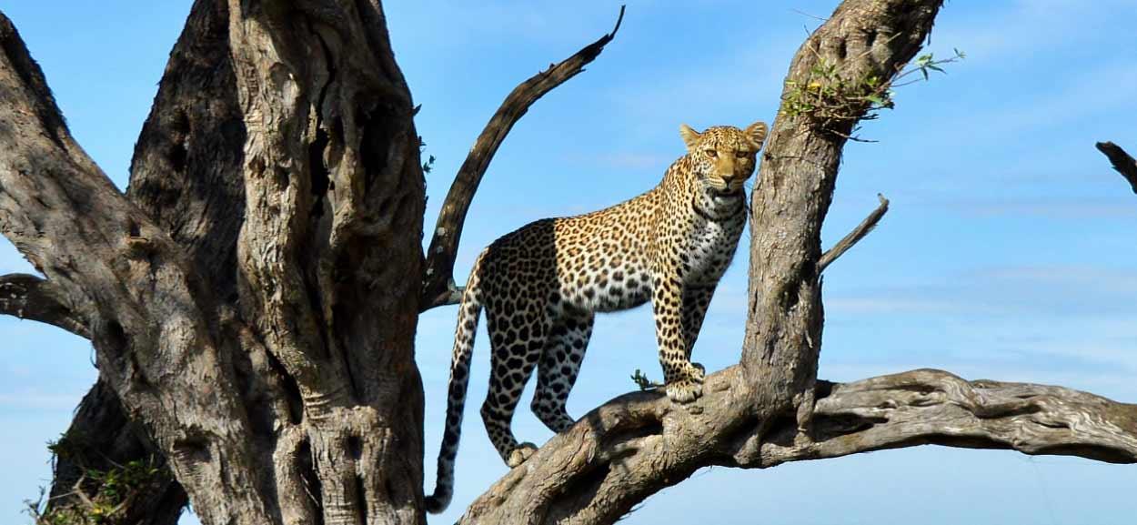 Safari en Kenia y Tanzania 7 días en servicio compartido - un leopardo