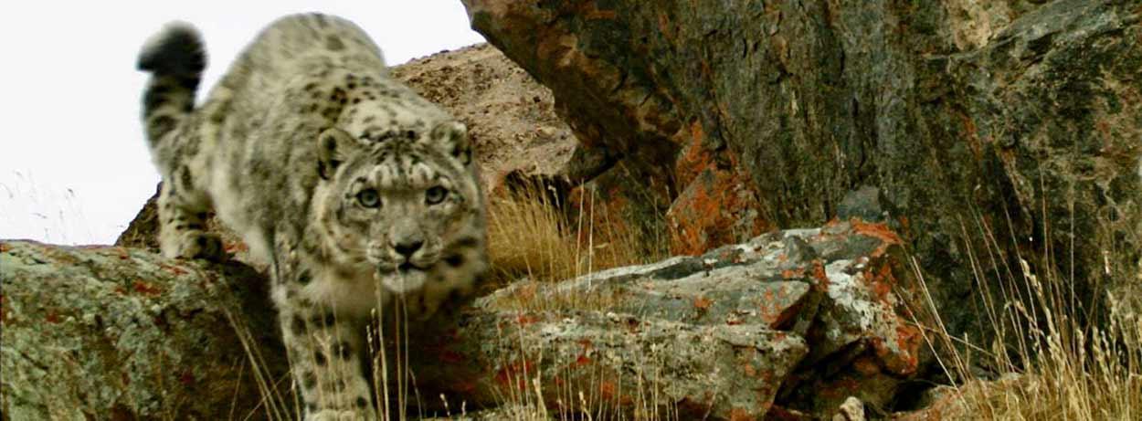Un leopardo de las nieves en montañas de Kirguistán - 14 Razones para viajar a Kirguistán, el país de las montañas celestiales