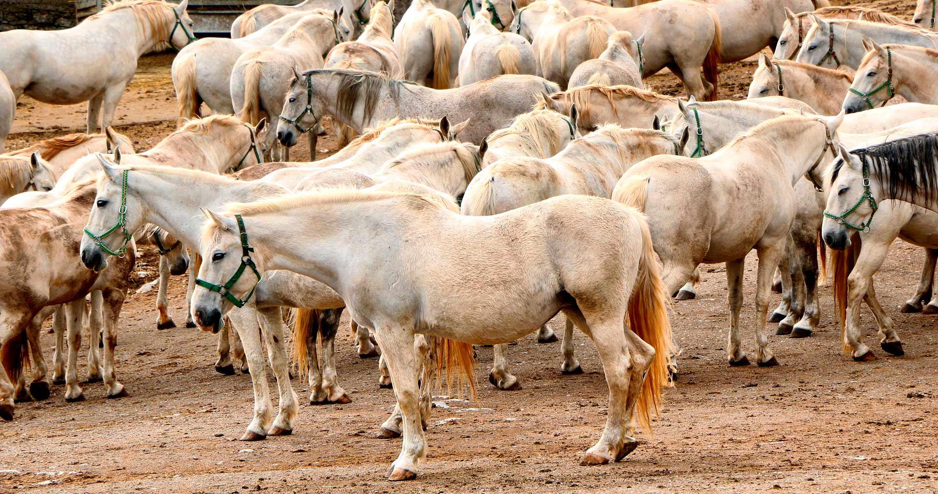 La centenaria raza de caballos blancos Lipizzaner - 14 Razones para viajar a Eslovenia - Image by majdharma from Pixabay