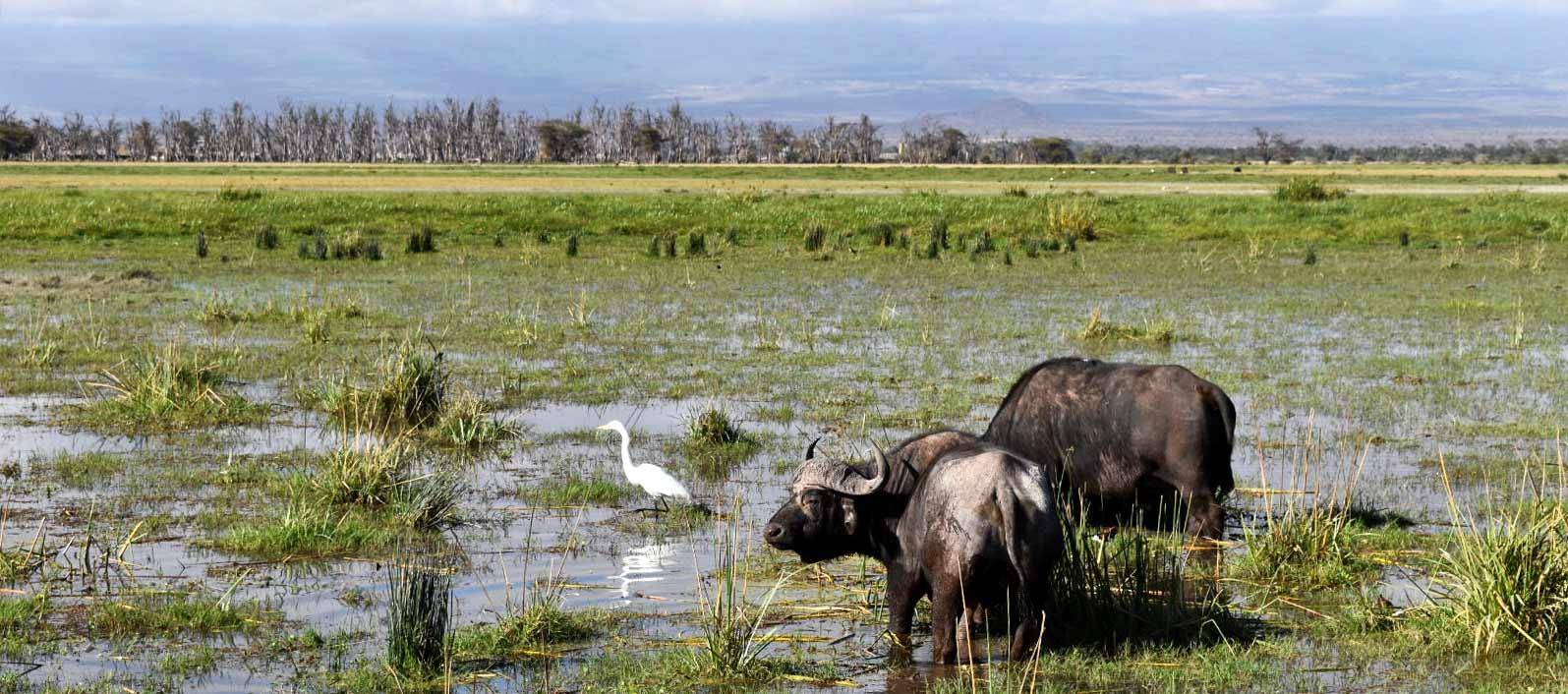 Testimonio de Safari en Kenia de Bea y Chema - bufalos