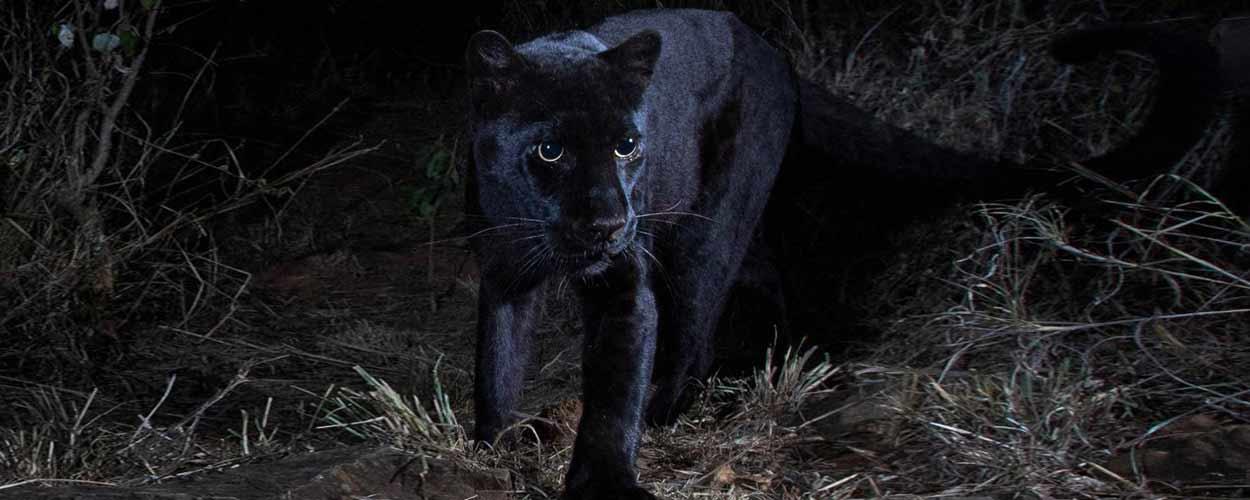 Un leopardo negro de Aberdare - guía de turismo de Kenia