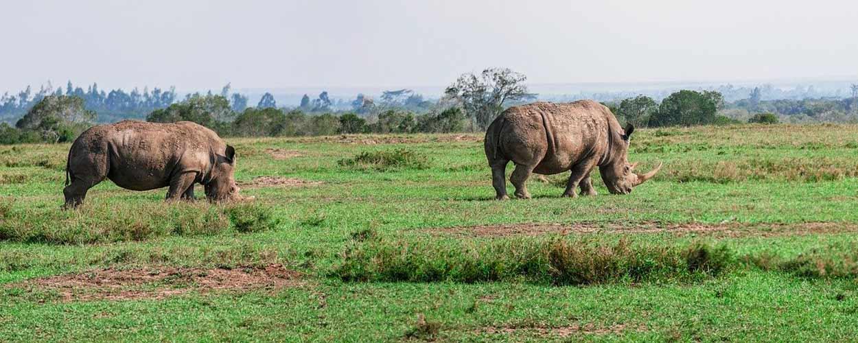 OL PEJETA (RESERVA PRIVADA) - rinoceronte negro - la guía de turismo de Kenia